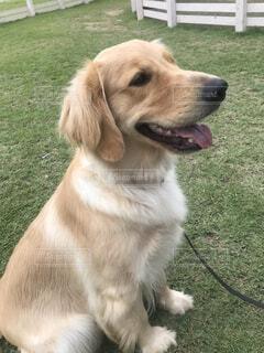 犬,動物,屋外,景色,草,座る,大型犬