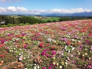 風景,空,花,花畑,屋外,ピンク,雲,景色,草,草木