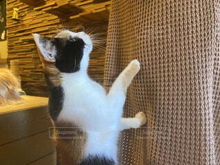 猫,動物,屋内,歩く,三毛猫,ネコ科