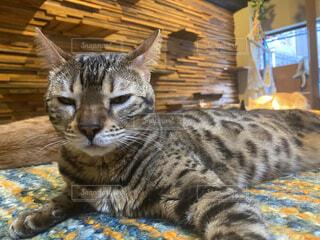 猫,動物,屋内,かわいい,寝転ぶ,眠る,睡眠,眠たい,ヒョウ,ネコ科