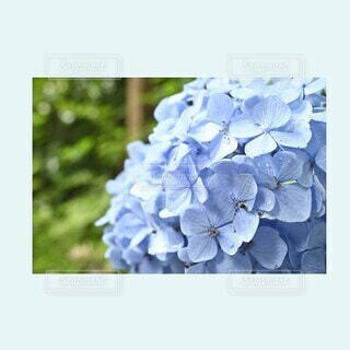 花,紫陽花,梅雨