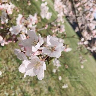 花,春,屋外,草木,さくら,ブルーム,ブロッサム,マンテマ