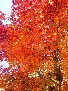 秋,紅葉,葉,オレンジ,樹木,落葉,草木,カエデ