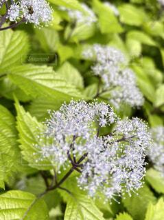 京都大原三千院の小紫陽花の写真・画像素材[4644006]