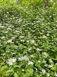 京都大原三千院の大原菊の写真・画像素材[4644012]