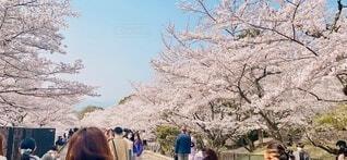 女性,男性,風景,空,花,春,桜,木,屋外,国内,京都,ピンク,緑,晴れ,後ろ姿,観光地,女の子,満開,茶髪,樹木,人物,人,旅行,昼,午後,レジャー,おでかけ,国内旅行,桜の花,日中,さくら,京都観光,蹴上,ブロッサム