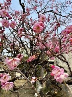 北野天満宮の梅の写真・画像素材[4656121]