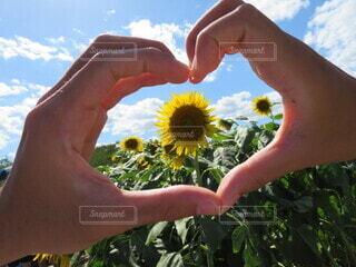 自然,空,花,夏,カップル,屋外,ひまわり,手,ハート,人物,人,素材,景観,草木,持株