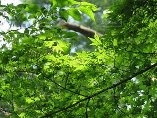 自然,公園,屋外,緑,葉,もみじ,樹木,新緑,素材,草木,日中