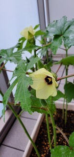 花,緑,水,黄色,水滴,ベランダ,葉,家庭菜園,草木