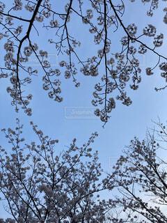 空,花,桜,屋外,樹木