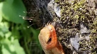 自然,トカゲ,爬虫類,日本トカゲ