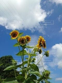 空,花,屋外,ひまわり,樹木,草木