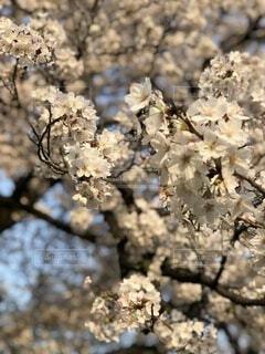 風景,花,春,屋外,樹木,草木,桜の花,さくら,ブロッサム