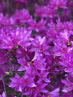 風景,花,春,紫,景色,ツツジ,草木,ブルーム,フローラ