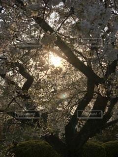 自然,空,花,春,屋外,夕焼け,日光,樹木,草木,桜の花,さくら