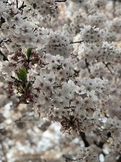 花,春,草木,桜の花,さくら,ブルーム,ブロッサム,フローラ