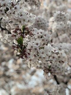 風景,花,春,景色,草木,桜の花,さくら,ブルーム,ブロッサム