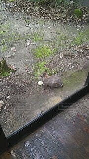 温泉,動物,屋外,地面,ご飯,ウサギ,放し飼い