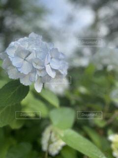 花,緑,紫陽花,日本,japan,草木,フローラ