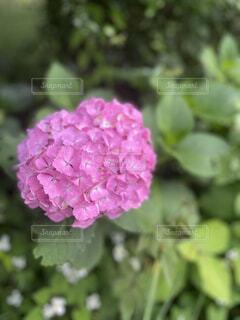 花,屋外,緑,紫陽花,japan,草木,フローラ