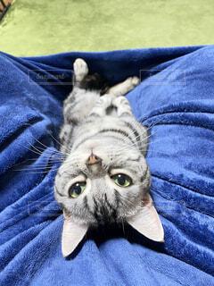 猫,動物,屋内,青,景色,布,子猫,人物,人,毛布,ネコ科,ベッド