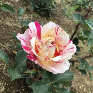 花,屋外,ピンク,赤,バラ,葉,花びら,お花,薔薇,草木,カワイイ,常緑のバラ