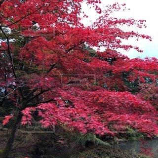 花,秋,屋外,赤,葉,樹木,草木,ガーデン,カエデ