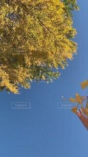 ひらひらと舞い落ちるイチョウの葉の写真・画像素材[4814064]