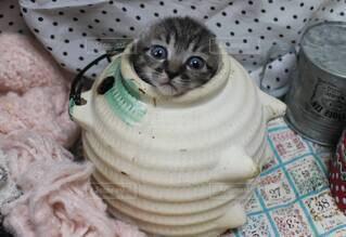 猫,動物,屋内,かわいい,子猫,仔猫,癒し,小さい,イタズラ,いたずら,すっぽり,チャトラ