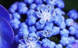 花,雨,青,紫,紫陽花,可愛い,蕾,梅雨,6月,寺,群生,手水舎,アジサイ,畦道