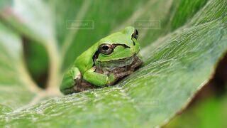 雨,緑,青,葉っぱ,小さい,田んぼ,可愛い,梅雨,6月,蛙,アマガエル,ケロケロ