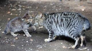 猫,動物,屋外,親子,草,遊ぶ,子猫,仔猫,野良猫,地面,日向ぼっこ,見つめる,キジトラ,親猫,ネコ科,眼差し,ちょっかい