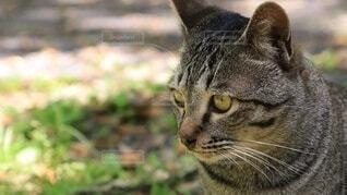 猫,動物,屋外,草,グレー,野良猫,地面,日向ぼっこ,見つめる,キジトラ,髭,ネコ科,眼差し