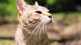 猫,動物,屋外,草,野良猫,地面,日向ぼっこ,見つめる,ネコ科,眼差し,チャトラ