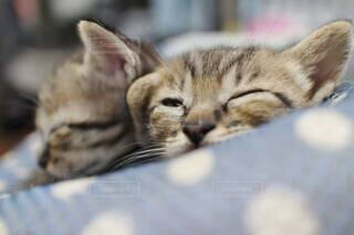 猫,動物,屋内,かわいい,昼寝,仲良し,子猫,仔猫,癒し,寝落ち,ベッド,キジトラ猫