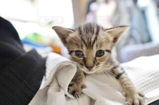 猫,動物,屋内,かわいい,子猫,仔猫,癒し,ひざ,見つめる,チャトラ,懐く,キジトラ猫