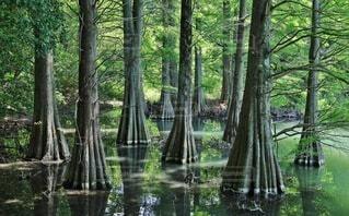 九大の森のラクウショウの写真・画像素材[4647357]