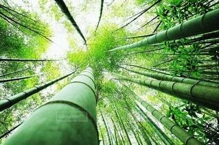 空に向かって真っ直ぐに伸びる竹林の写真・画像素材[4647424]