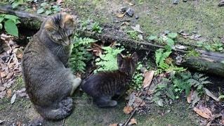 猫,動物,屋外,親子,草,子猫,仔猫,地面,遊び,ネコ科,じゃれ合う
