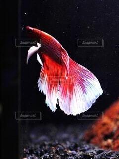動物,魚,観賞魚,赤,水族館,可愛い,ベタ,ヒレ,華麗,赤白,闘魚