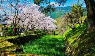 秋月城址の桜並木と屋台の写真・画像素材[4649296]