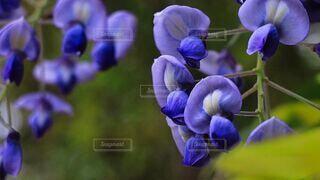 自然,花,春,森林,屋外,紫,山,樹木,藤の花,草木,野生,房,フローラ