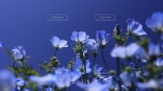 太陽に透けるネモフィラの花の写真・画像素材[4650427]