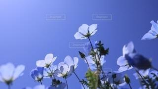青空とネモフィラの写真・画像素材[4650430]