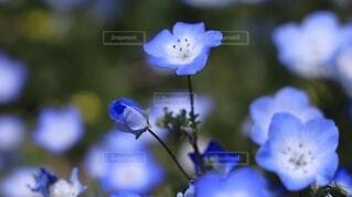 淡く可憐なネモフィラの花の写真・画像素材[4650424]