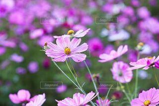 花,秋,ピンク,コスモス,紫,花びら,秋桜,可憐,草木,淡い,陽だまり,薄紅色