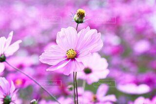 花,秋,ピンク,コスモス,花びら,秋桜,可憐,草木,淡い,陽だまり,薄紅色
