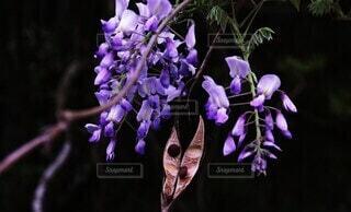 自然,花,春,森林,屋外,紫,山,樹木,藤の花,蘭,草木,野生