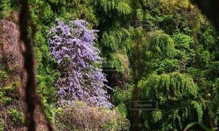 自然,花,春,森林,屋外,紫,山,樹木,藤の花,草木,野生